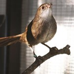 Reintroduction plan to rescue the northern eastern bristlebird