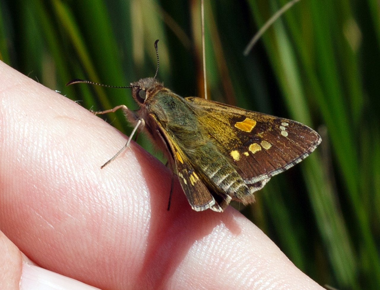 Yellow sedge-skipper