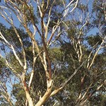 Developing a national action plan for Australian eucalypts