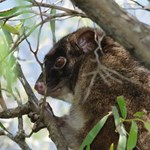 Understanding genomic variation in the western ringtail possum for adaptive conservation