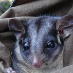 Adaptive Management for threatened mammals in the Victorian Central Highlands