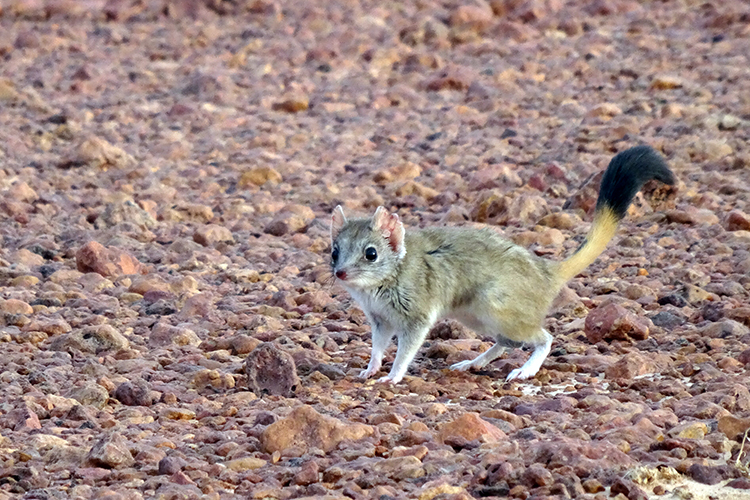 The kowari: Saving a central Australian micro-predator