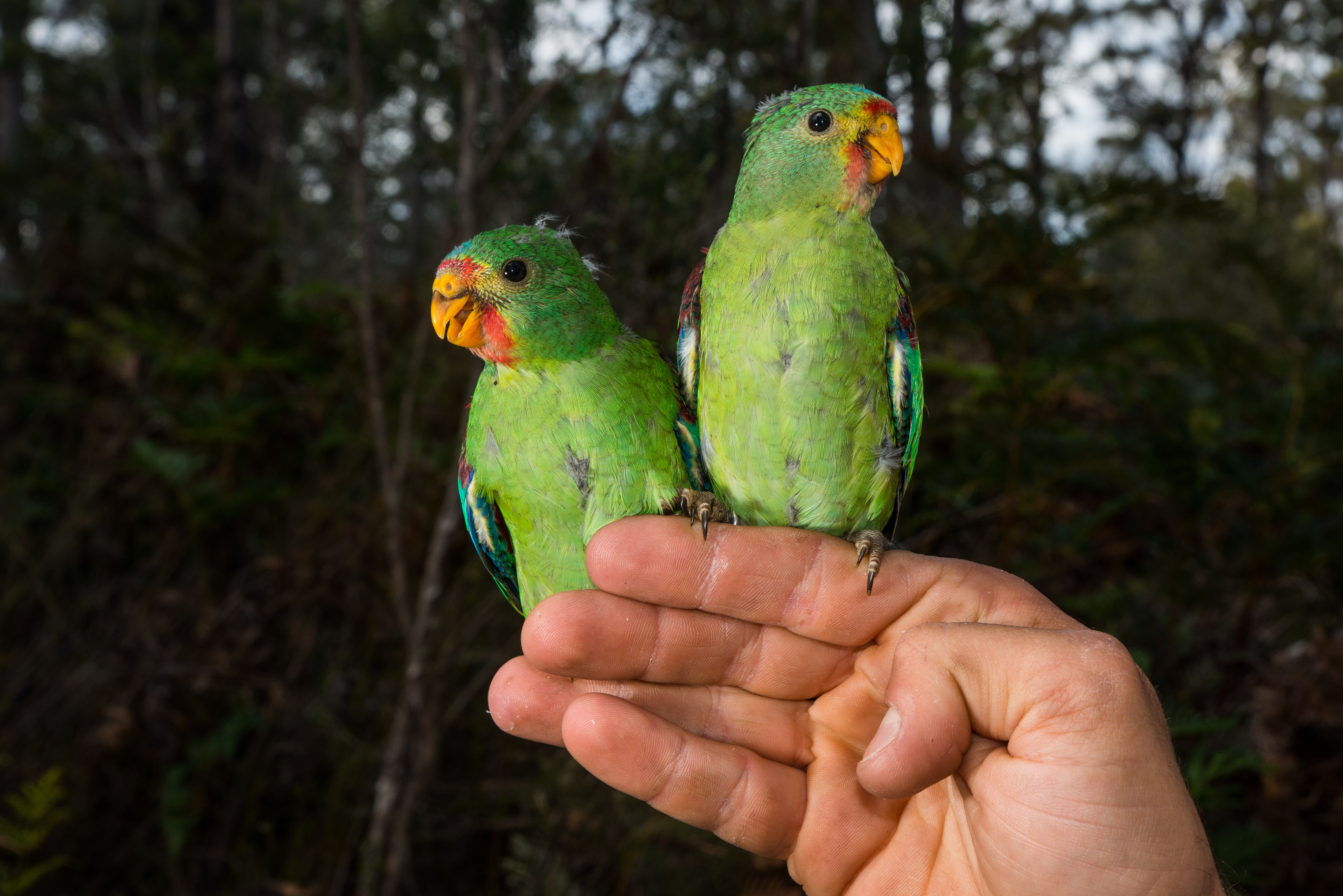 Parrots make swift use of nesting boxes in Tasmania