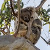 A national approach to the integration of koala spatial data to inform conservation planning